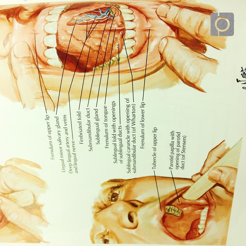 Anatomy : oral cavity (Oral cavity) Flashcards | Memorang