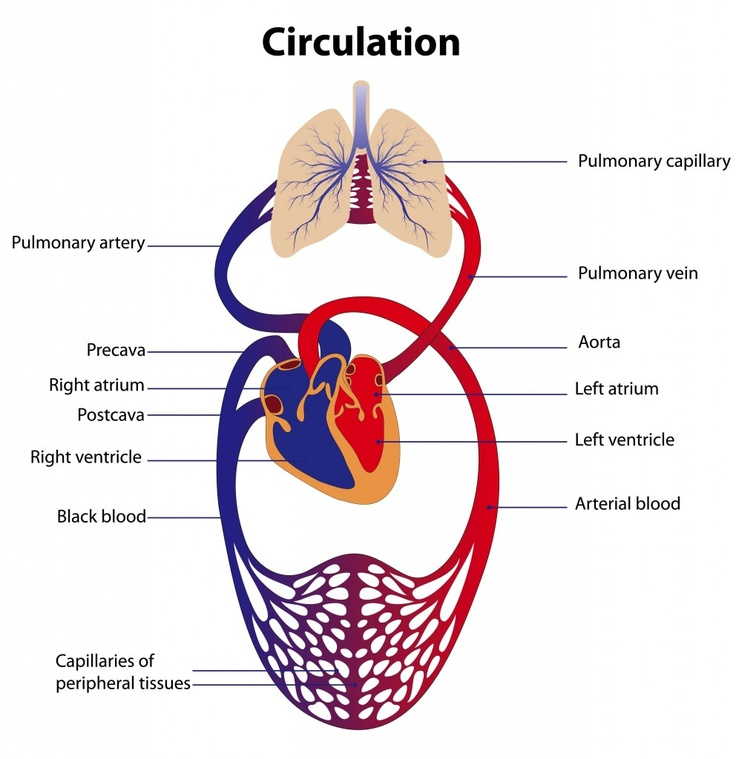 The Cardiovascular System Part I Circulation Mcat 2018 Biology