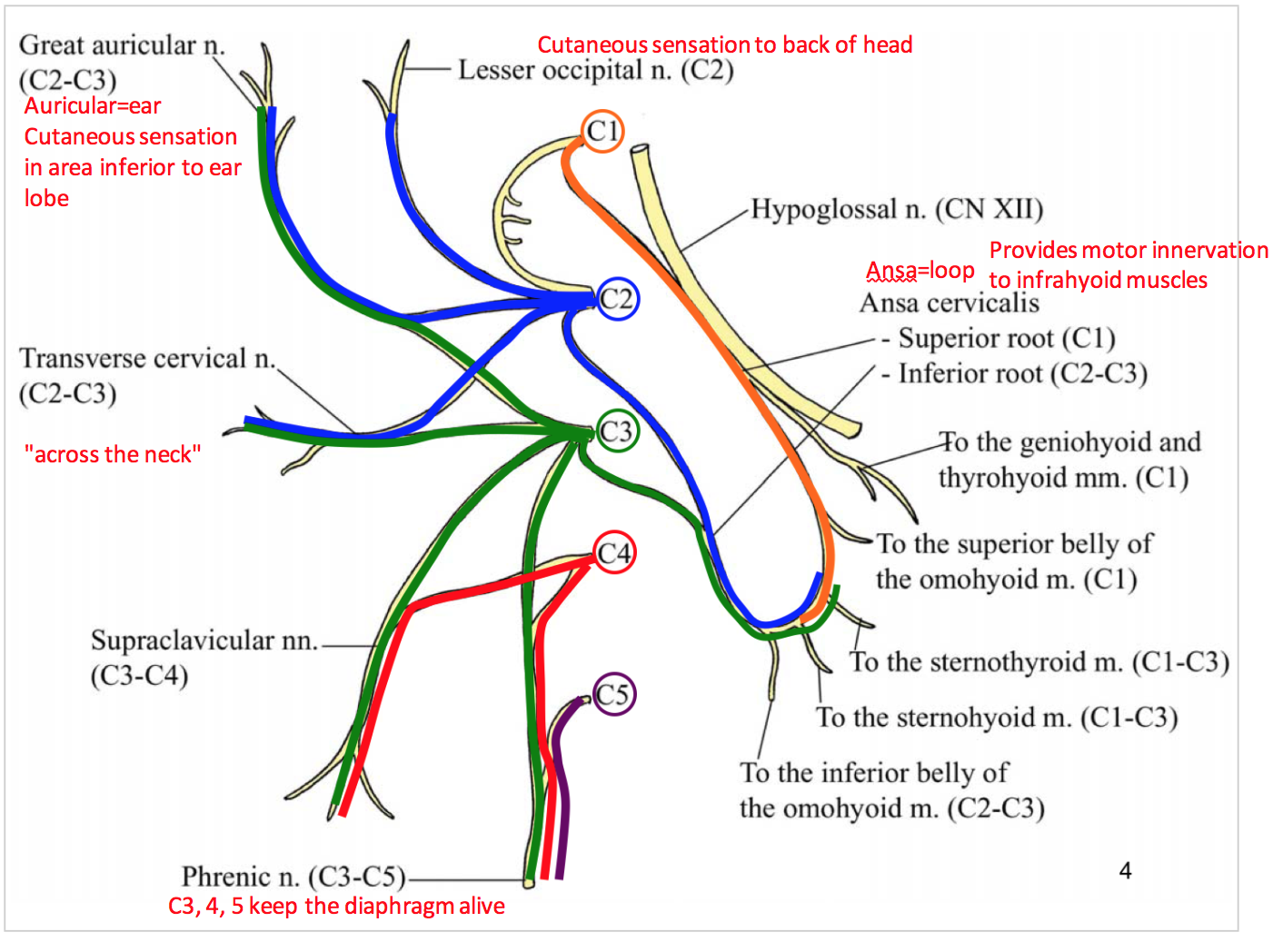 Week 11 - Cervical Plexus (Anatomy) (Phase 1) Flashcards | Memorang