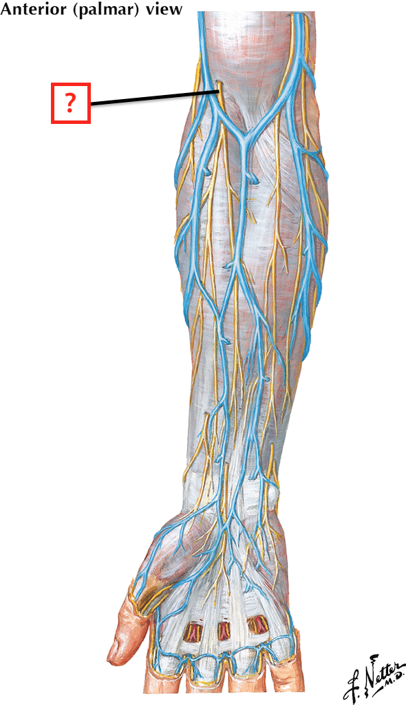 Cutaneous Nerves and Superficial Veins of Forearm Flashcards | Memorang
