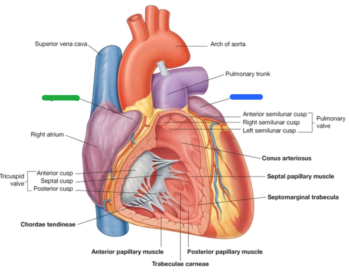 CAR: Anatomy Heart (Anatomy Heart) Flashcards | Memorang