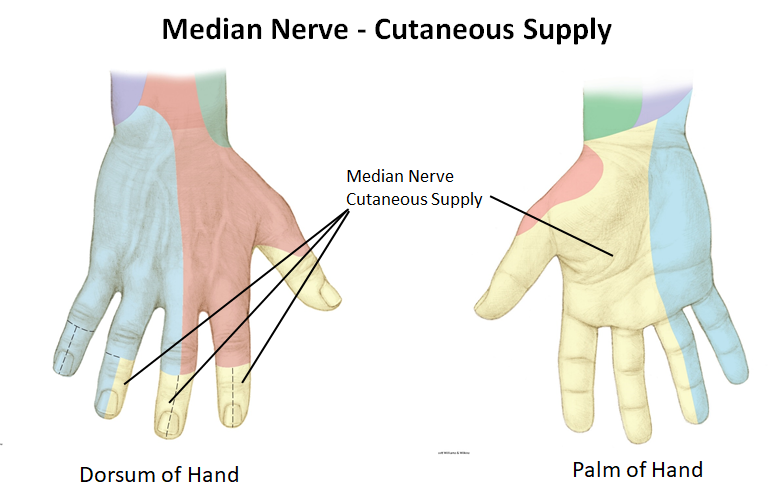 Nerves of the hands notes (Aug 28) Flashcards | Memorang