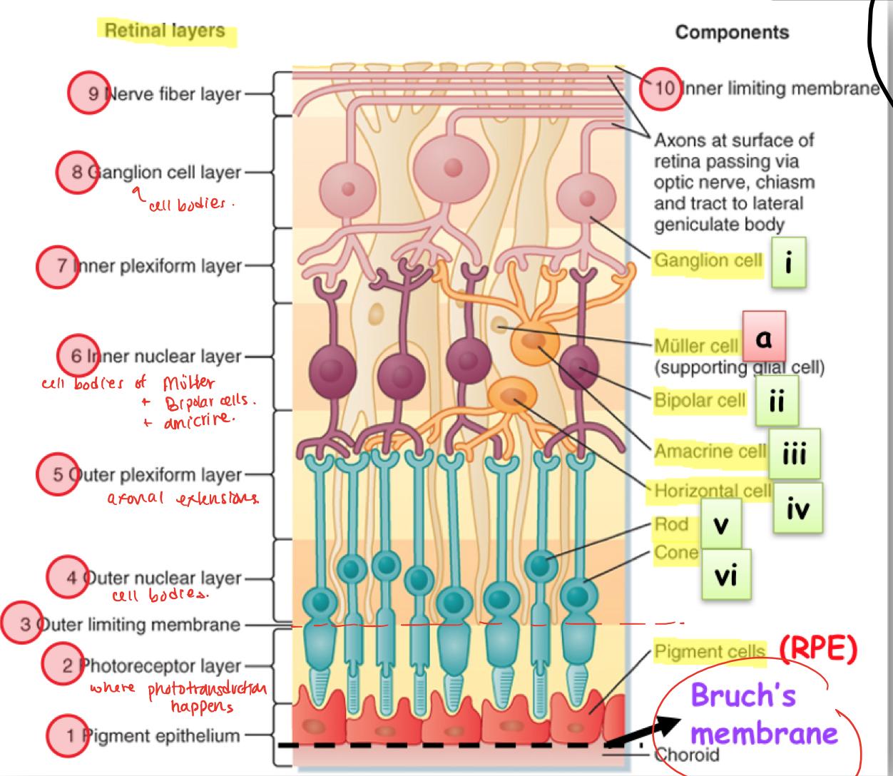 physiology neurobiology Biological sciences (bs): integrative physiology and neurobiology (17bioscbs-17bioscipn) freshman year.