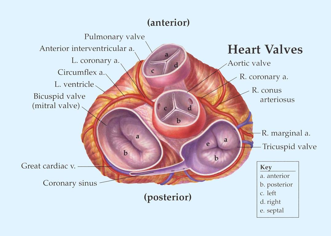 valvular heart disease (CRR II) Flashcards | Memorang