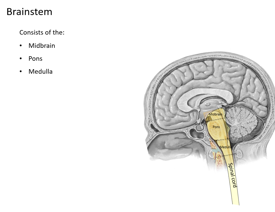 Brainstem and cn bb 1 flashcards memorang connection between the brain and the spinal cord shares portions of both ccuart Gallery