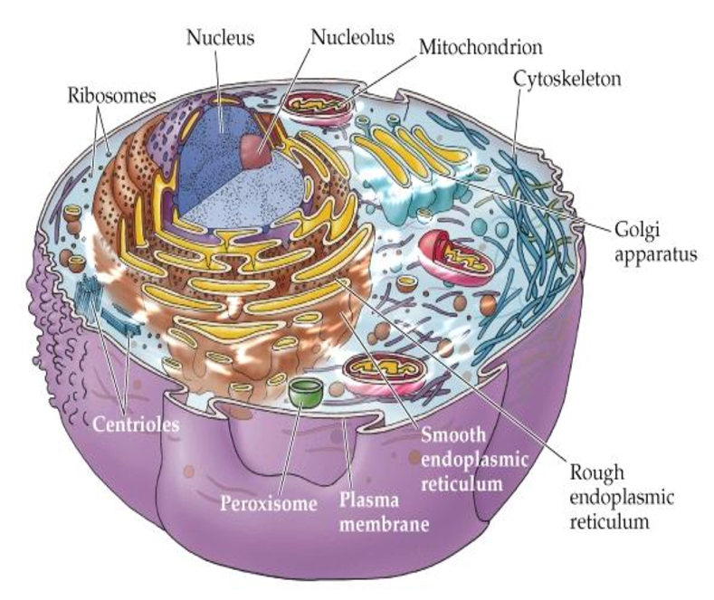 Basic cell biology i layout and organelles mcat 2018 biology diagram ccuart Choice Image