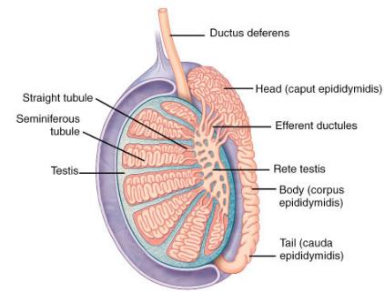 Gross Anatomy 1 Gross Anatomy Flashcards Memorang