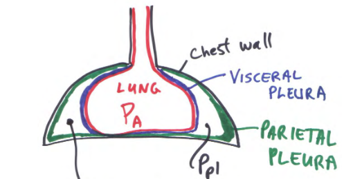 Resp mechanics 1 pulm flashcards memorang chest wall parietal pleura visceral pleura lung diagram ccuart Choice Image
