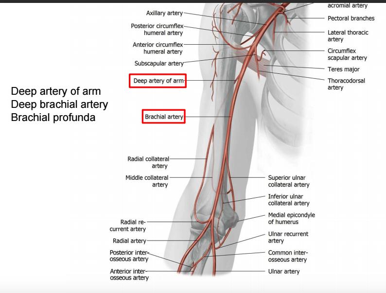 Upper Limb Iii Anatomy Flashcards Memorang