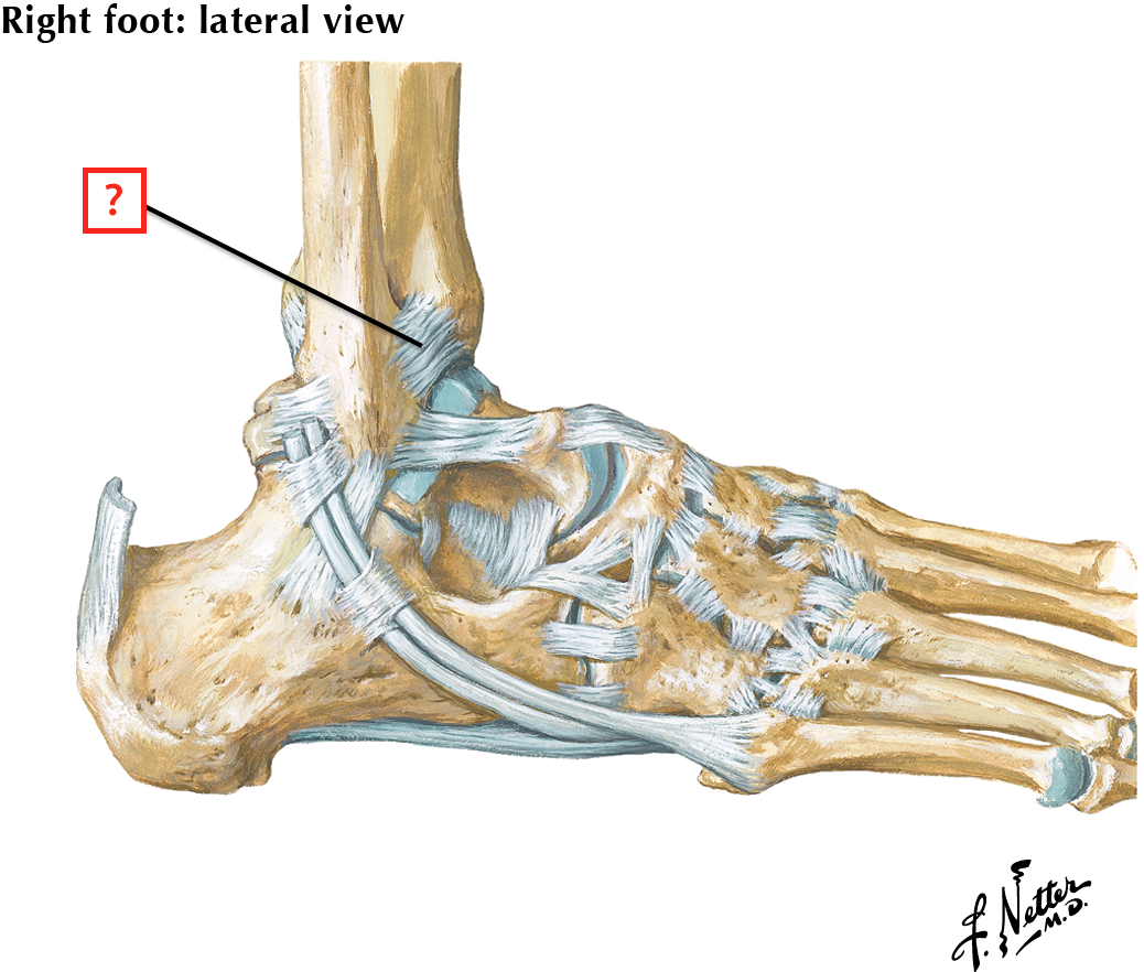 Ligaments And Tendons Of Ankle Lateral View Flashcards Memorang