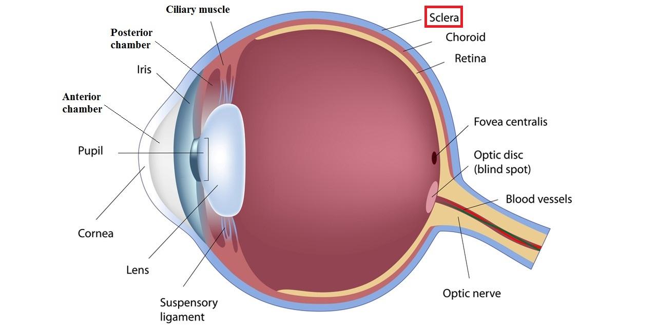 Eye diagram sclera wiring diagram eye diagram sclera ccuart Images