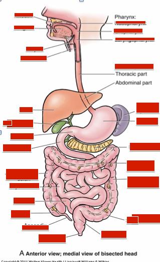 Upper GI anatomy (Week 1 - anatomy) Flashcards | Memorang