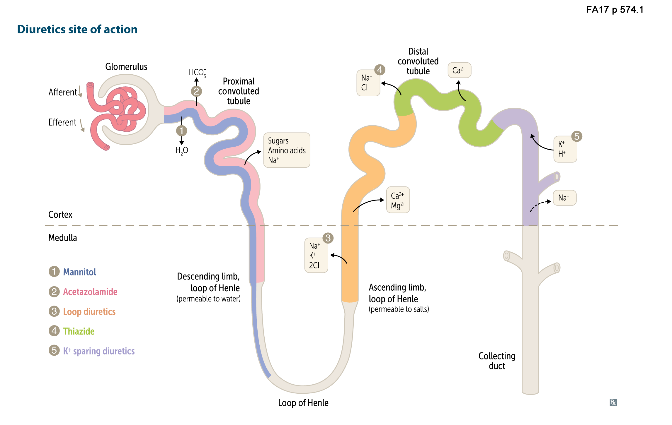 Renal pharmacology diuretics site of action flashcards memorang pct and the thin descending loop of henle ccuart Choice Image