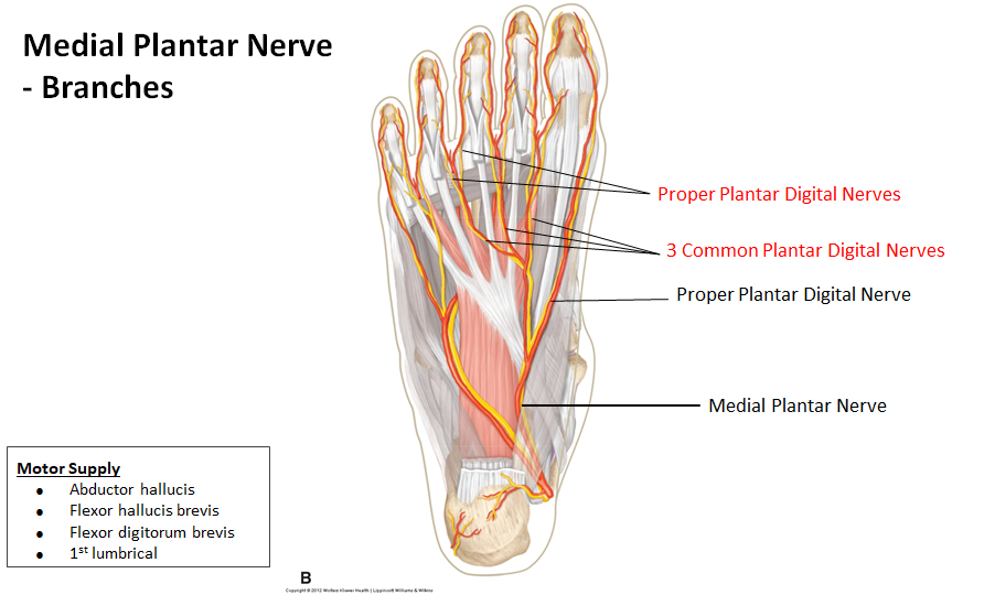 The Foot Nerve Supply Notes Aug 14 Flashcards Memorang