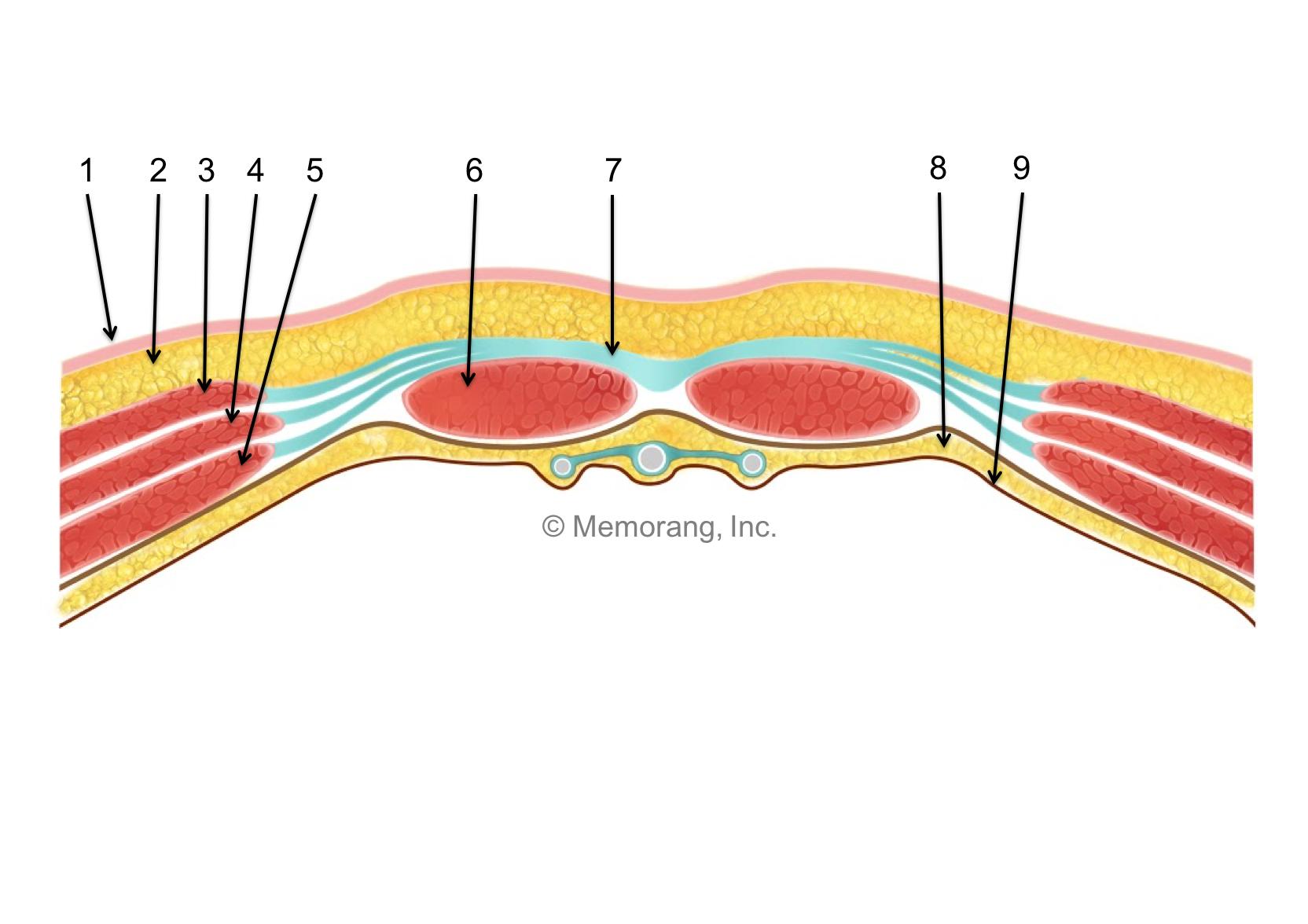 Abdominal Wall Layers (Gastrointestinal Anatomy) Flashcards | Memorang