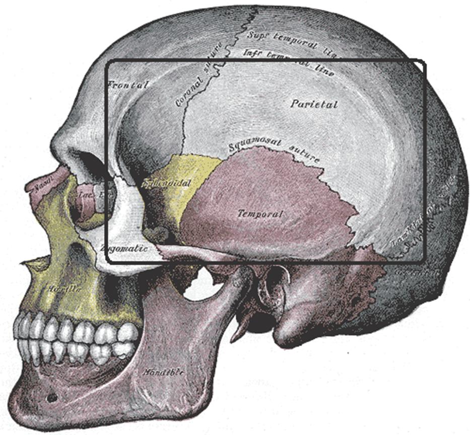 003B - Temporal Region (Anatomy II) Flashcards   Memorang