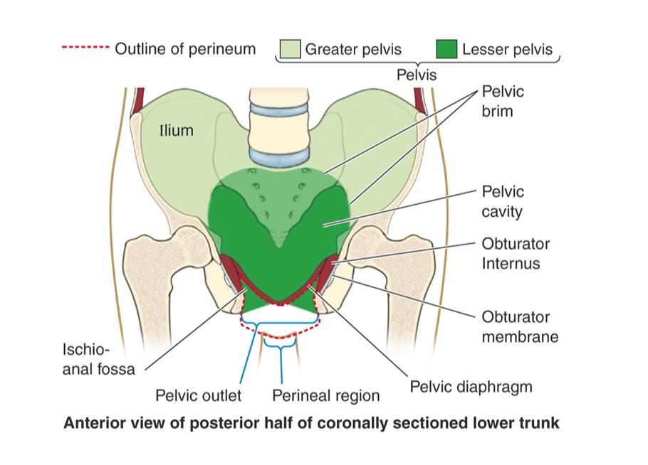 Perineum I Anatomy Flashcards Memorang