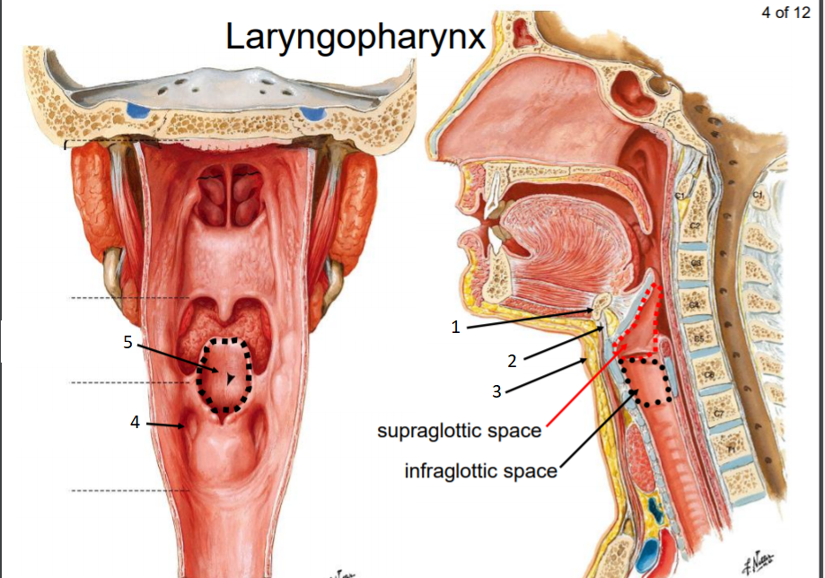 Anatomy Larynx Flashcards About The Laryngeal Structures And