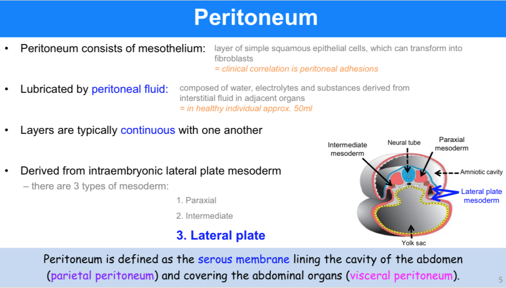 ANATOMY OF THE ABDOMEN 1: PERITONEUM (ANATOMY) Flashcards | Memorang