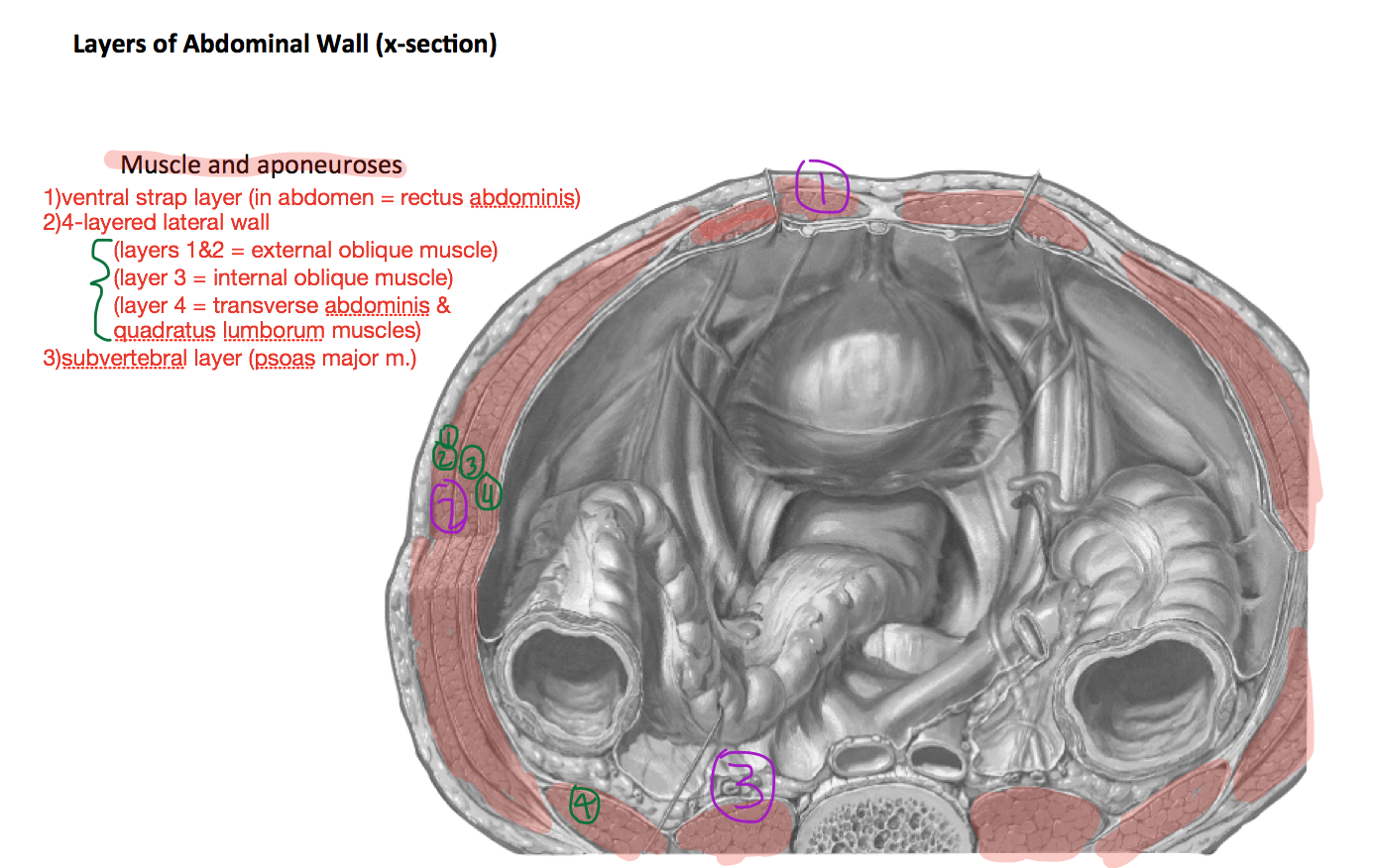 Week 6 - Abdominal Wall & Inguinal Region (Anatomy) (Phase 1 ...
