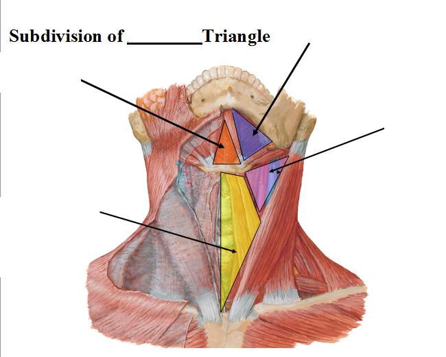 Neck Triangles Lecture 3 (Anatomy Block 2) Flashcards | Memorang
