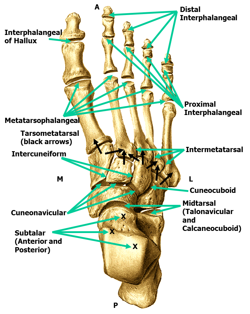 Awesome Foot Joints Festooning - Human Anatomy Images ...