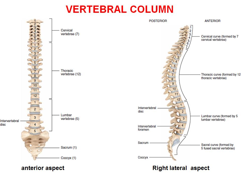 Spinal Cord Laminectomy L1 Gross Anatomy Flashcards Memorang