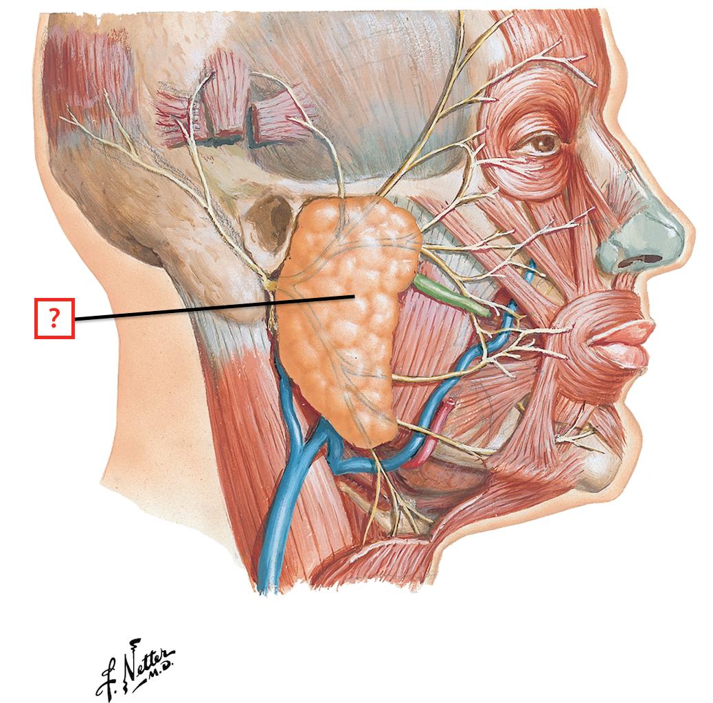 Superficial Face And Parotid Gland Flashcards Memorang