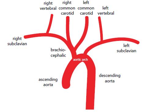 Diagram Of Bovine Arch - Circuit Connection Diagram •