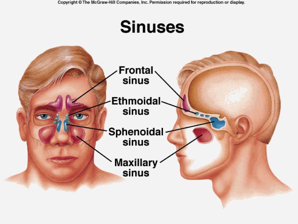 Sinus secondary ddx (sinus anatomy + sinusitis) Flashcards | Memorang