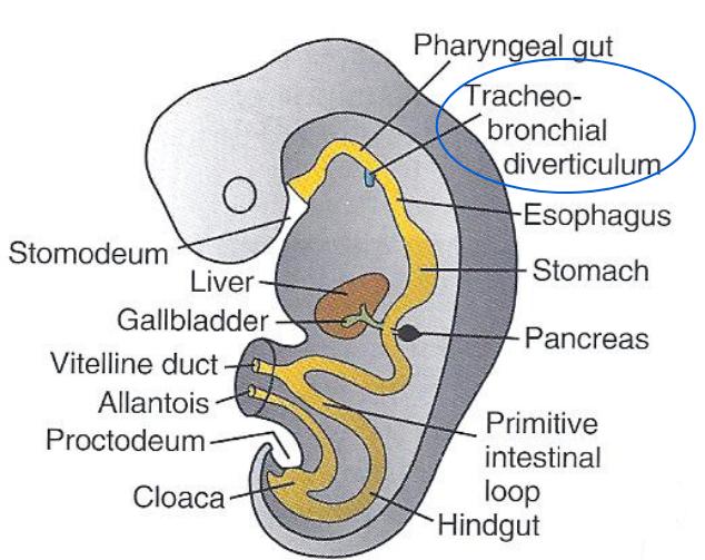 Development Of Respiratory System Gross Anatomy Flashcards Memorang