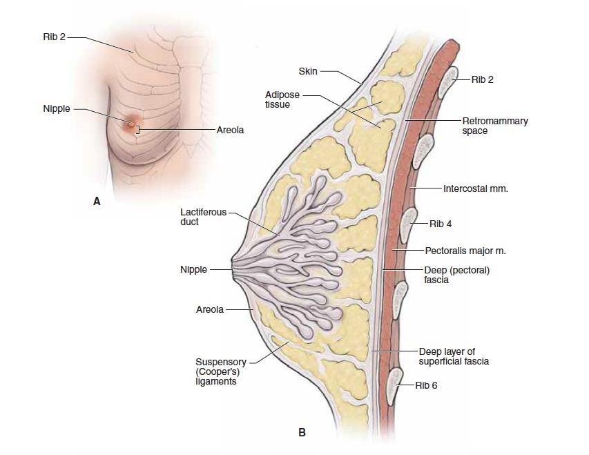 Thoracic wall & heart (anatomy) Flashcards   Memorang