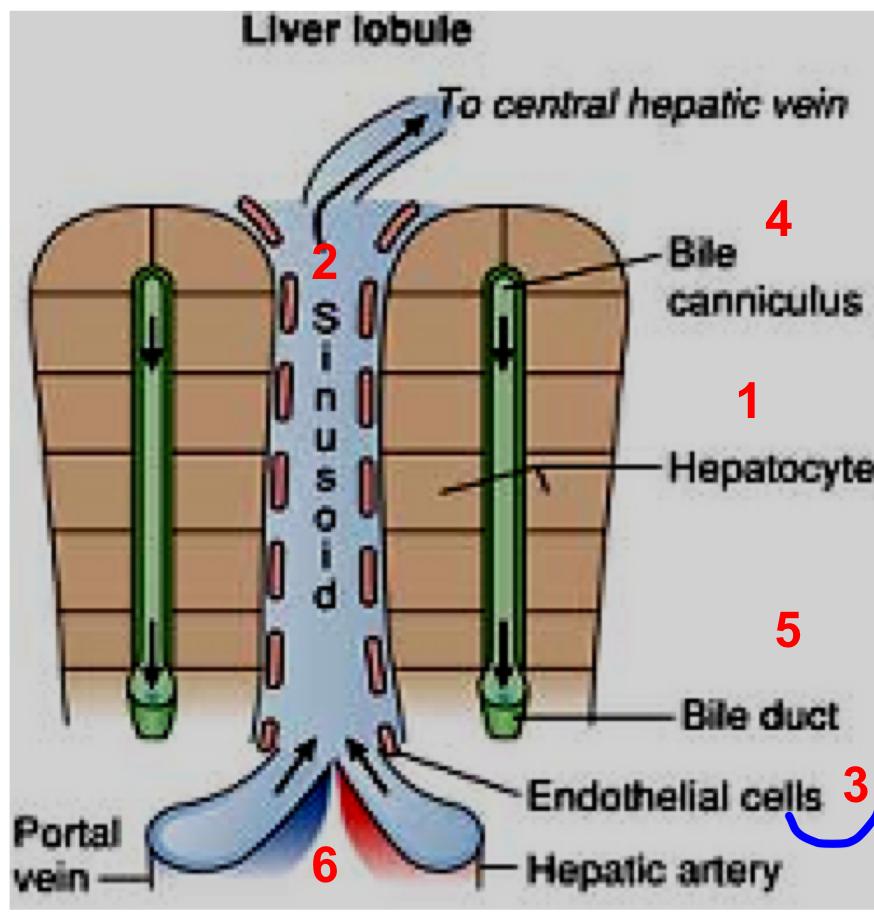 Liver Biochemistry (Gastrointestinal) Flashcards   Memorang