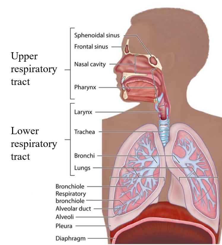 Respiratory System Histology (Histology) Flashcards | Memorang