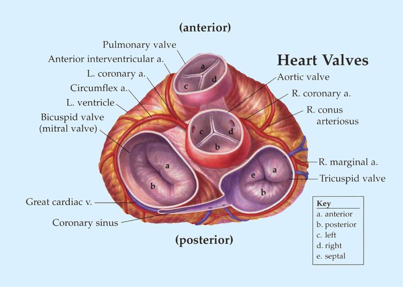 Valvular Disease (R-Week 2) Flashcards | Memorang