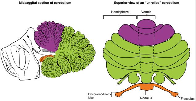 N88: Cerebellum Structure and Function (Neurosciences ... Flocculonodular Lobe Label