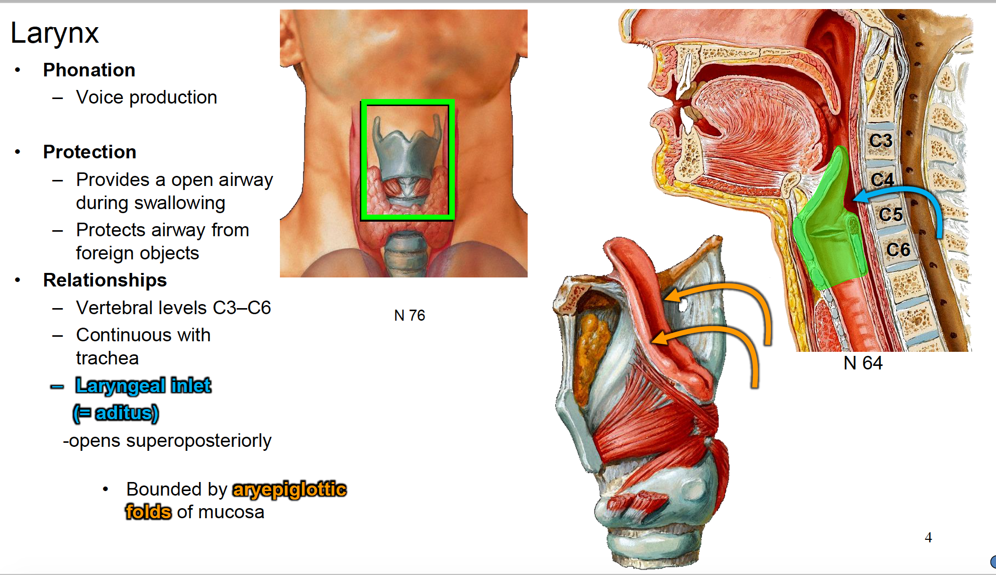 Anatomy G66 Larynx (Anatomy Unit 8) Flashcards | Memorang