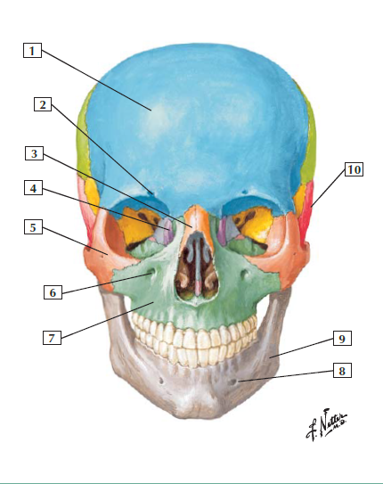 Bones and Joints of the Face and Neck (Netter\'s Anatomy) Flashcards ...
