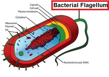 Bacteria structure and morphology mcat 2018 biology flashcards bacteria structure and morphology mcat 2018 biology flashcards memorang ccuart Gallery