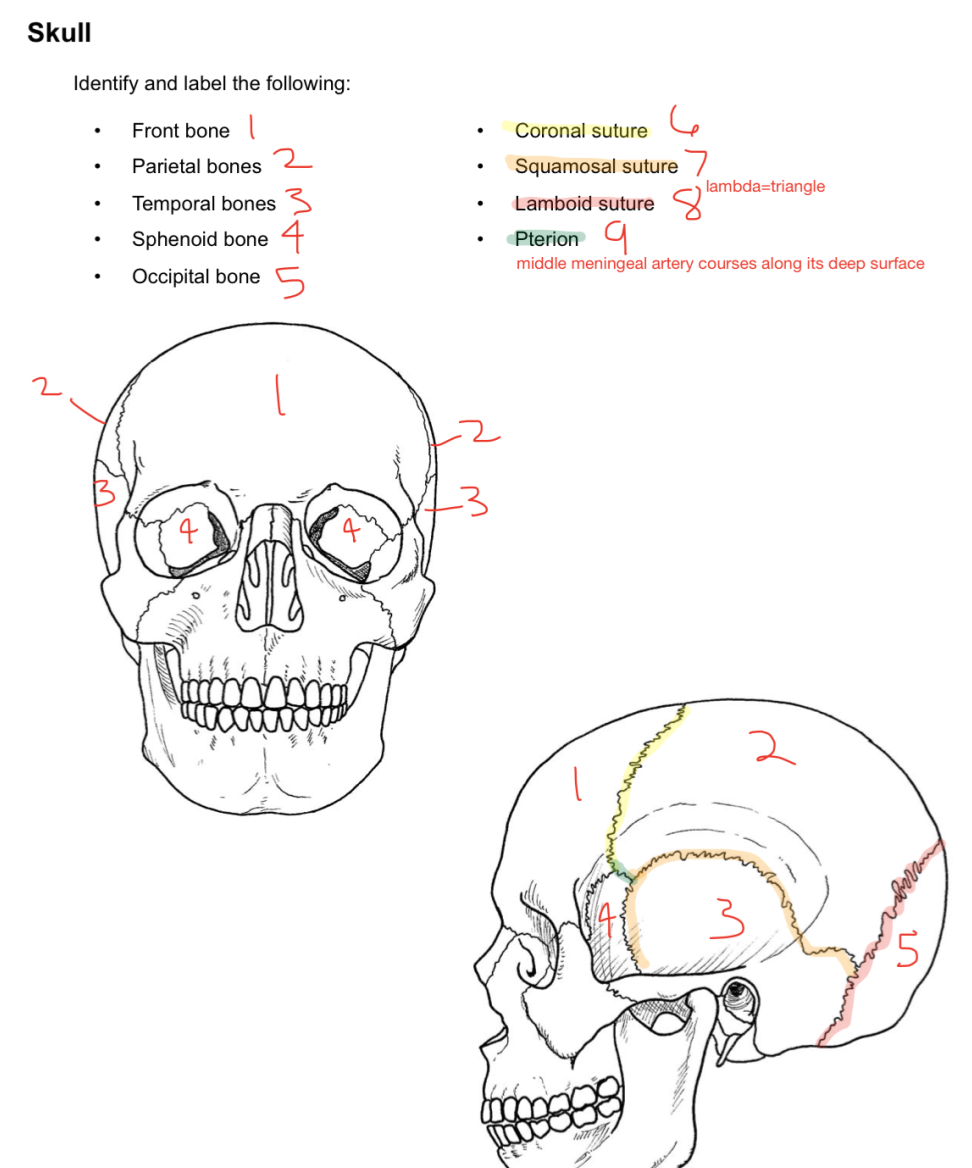 Week 12 - Brain Introduction (Anatomy) (Phase 1) Flashcards | Memorang