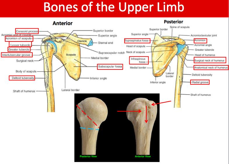 11 10 Scapular Muscles Posterior Arm Shoulder Joint Boucher