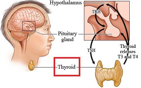 The Endocrine System Thyroid Parathyroid Adrenal Gonads Mcat