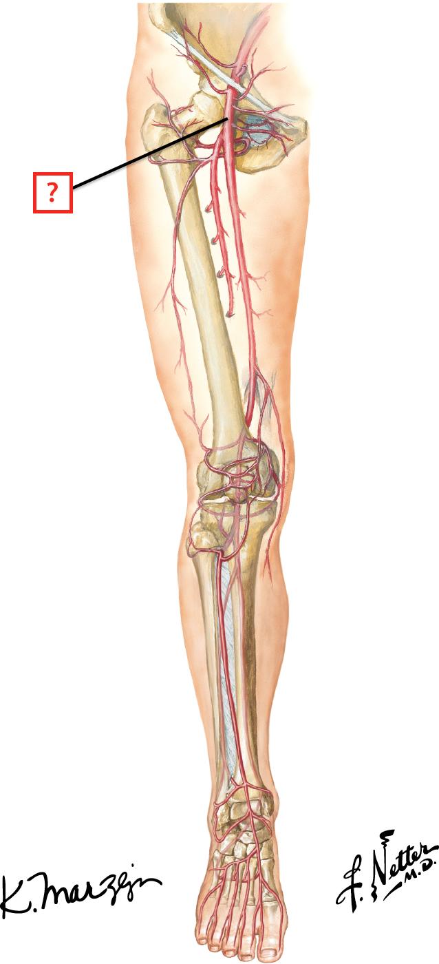 Summary of Lower Limb Arteries Flashcards | Memorang