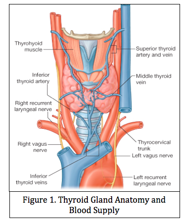 9-29 Thyroid & Parathyroid Anatomy (McHugh Endo) Flashcards | Memorang