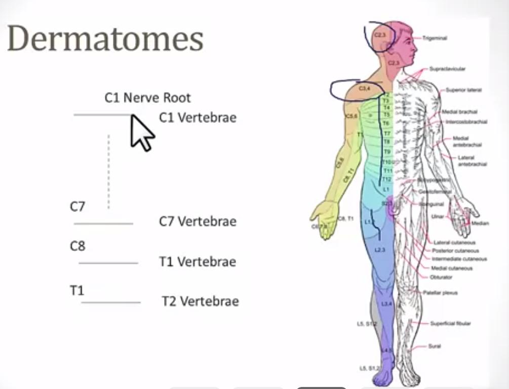 Dermatome And Reflex Dermatome And Reflex Flashcards Memorang