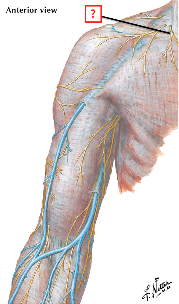 Cutaneous Nerves and Superficial Veins of Shoulder and Arm ...