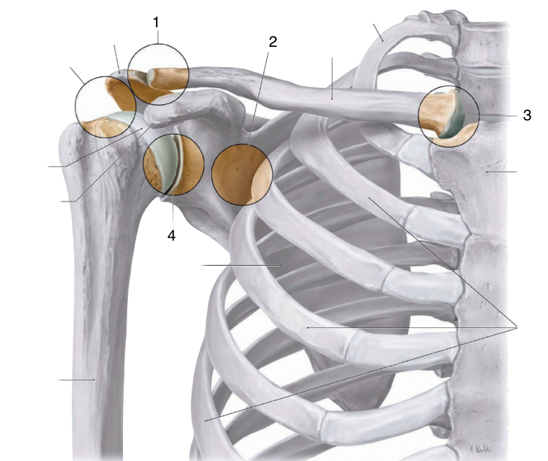 Joints, Ligaments, and Bursae of the Shoulder (Anatomy > Upper Limb ...