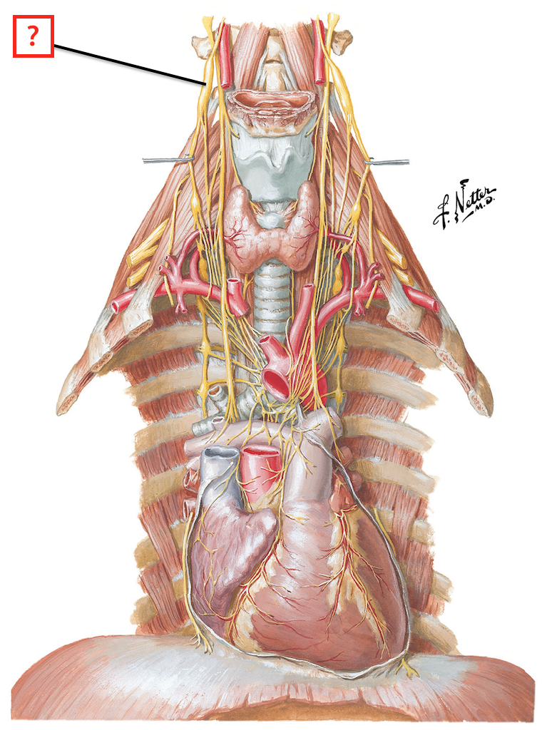 Nerves of Heart Flashcards | Memorang