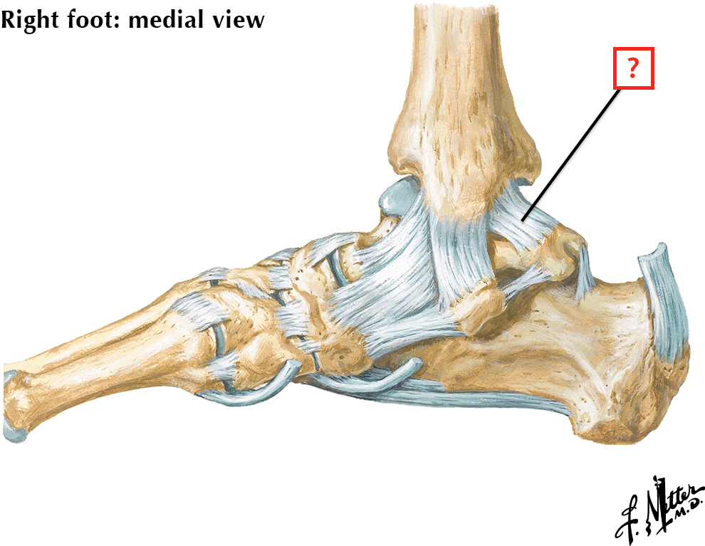 Ligaments and Tendons of Ankle: Medial View Flashcards | Memorang