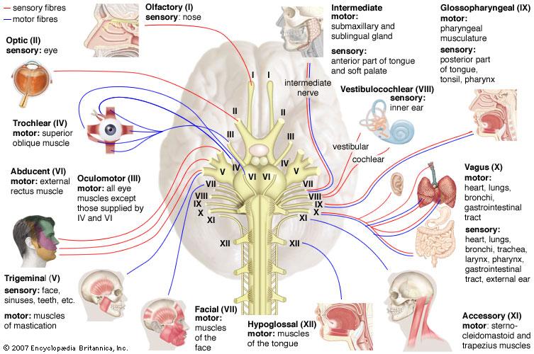 Human Phys Mohammad Nervous System Flashcards Memorang